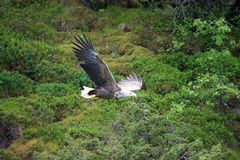 White-tailed Sea-eagle Stock Photos