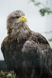 White tailed sea eagle (haliaeetus albicilla) stock photo