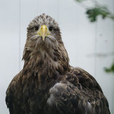 White tailed sea eagle (haliaeetus albicilla) royalty free stock photography