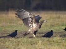 White-tailed sea-eagle, Haliaeetus albicilla. Fighting birds, Poland, october 2017 Royalty Free Stock Photos