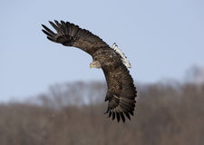 White-tailed sea-eagle, Haliaeetus albicilla Royalty Free Stock Photos