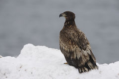 White-tailed sea-eagle, Haliaeetus albicilla Stock Image