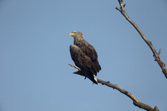 White-tailed sea-eagle, Haliaeetus albicilla Stock Photography