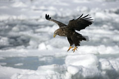 White-tailed sea-eagle, Haliaeetus albicilla Stock Images