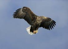 White-tailed sea-eagle, Haliaeetus albicilla. Single bird in flight, Japan Stock Photo