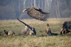 White-tailed sea-eagle, Haliaeetus albicilla. Fighting birds, Poland, october 2017 Royalty Free Stock Photo