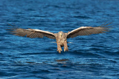 White-tailed Sea Eagle in head on flight at the camera. Royalty Free Stock Image