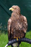 White tailed sea eagle on its stand Royalty Free Stock Image