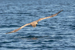 White-tailed Sea Eagle. Stock Photos