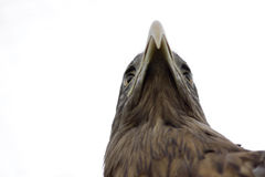 White-tailed sea eagle portrait Royalty Free Stock Photography