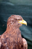 White tailed sea eagle portrait Royalty Free Stock Image