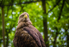 White-tailed Sea-eagle Royalty Free Stock Images