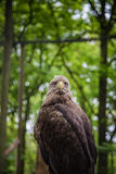 White-tailed Sea-eagle Royalty Free Stock Photos