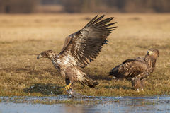 White-tailed sea eagle snatching a fish Royalty Free Stock Photography