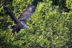 White-tailed sea-eagle after take-off Stock Photos