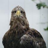White tailed sea eagle (haliaeetus albicilla) Royalty Free Stock Photography