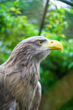 White tailed sea eagle in zoo Stock Image