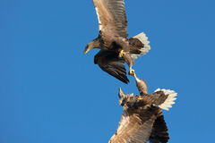 White-tailed Sea Eagles fighting. Stock Photography