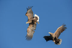 White-tailed Sea Eagles fighting. Royalty Free Stock Images