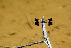 White-tailed Skimmer Dragonfly perches on a limb. Stock Photography