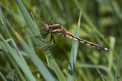 White-tailed skimmer / Orthetrum albistylum Royalty Free Stock Images