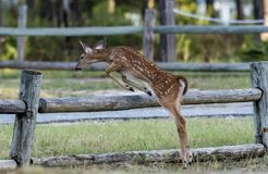Fawn jumping a fence royalty free stock photos
