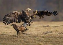 White-tailed squabble Royalty Free Stock Photo