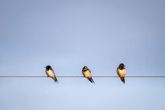 White tailed swallows, Kenya, Africa Stock Images