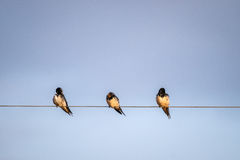 White tailed swallows, Kenya, Africa Stock Photography