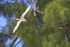 White-tailed tropicbird flies on wood background Royalty Free Stock Image