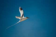 White-tailed tropicbird. A White-tailed tropicbird flying Royalty Free Stock Photos