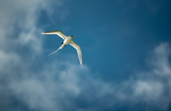 White-tailed tropicbird. A White-tailed tropicbird flying Royalty Free Stock Photography