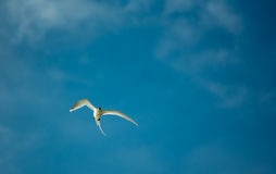 White-tailed tropicbird. A White-tailed tropicbird flying Royalty Free Stock Images