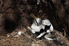 White-tailed tropicbird with its chick in the nest Stock Photos