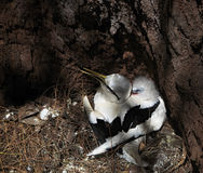 White-tailed tropicbird with its chick in the nest Royalty Free Stock Images