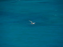 White-tailed tropicbird (Phaethon lepturus), bird in flight Stock Photography