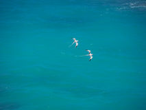 White-tailed tropicbirds (Phaethon lepturus), birds in flight Royalty Free Stock Images