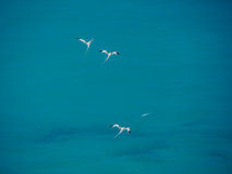 White-tailed tropicbirds (Phaethon lepturus), birds in flight Stock Photo