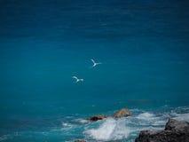 White-tailed tropicbirds (Phaethon lepturus), birds in flight stock image