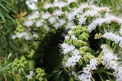 White Tajinaste at Tenerife, Canary Islands. Flowers and Plants Tajinaste on Tenerife, Canary Islands Flores y plantas en Tenerife, Islas Canarias royalty free stock images