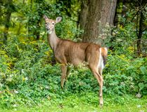White-talied deer royalty free stock photos