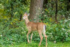 White-talied fawn in a forest stock photo