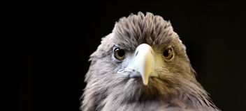White-talied Sea Eagle. Very fierce White - talied Sea Eagle's features royalty free stock photography