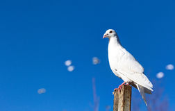 White tame pigeons against the blue sky. Stock Images