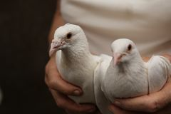 White tame wedding pigeons sit in the hands of the owner. White tame wedding pigeons sit in the caring hands of the owner royalty free stock photography