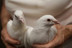 White tame wedding pigeons sit in the hands of the owner. White tame wedding pigeons sit in the caring hands of the owner royalty free stock photo