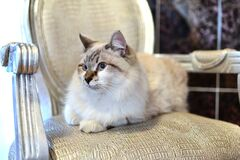 White Tan Cat Royalty Free Stock Photo