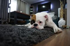 White and Tan English Bulldog Lying on Black Rug Stock Image