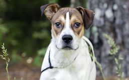 White and tan mixed breed puppy dog, animal shelter pet adoption photo. Young 10-month old unneutered male tri-colored pup dog outside with black leash. Outdoor stock image