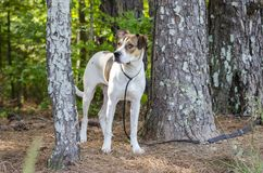 White and tan mixed breed puppy dog, animal shelter pet adoption photo. Young 10-month old unneutered male tri-colored pup dog outside with black leash. Outdoor royalty free stock photography